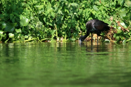 Cormorant at Lake Victoria - The Source of The River Nile - Uganda - The Pearl of Africa photo