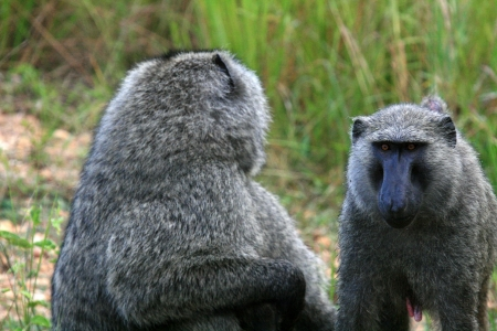 Olive Baboon at Murchison Falls National Park Safari Reserve in Uganda - The Pearl of Africa photo