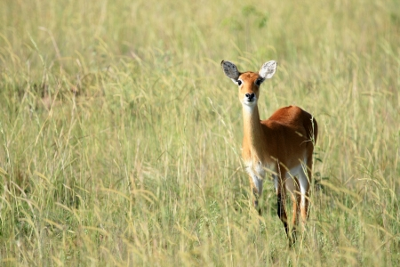 Impala Antelope at Murchison Falls National Park Safari Reserve in Uganda - The Pearl of Africa