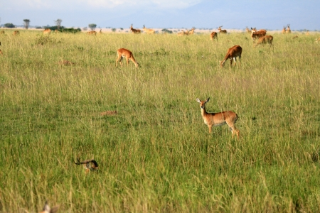 great plains: Impala Antelope at Murchison Falls National Park Safari Reserve in Uganda - The Pearl of Africa