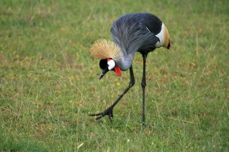 reserve: Crested  Crowned Crane - Murchison Falls National Park Safari Reserve in Uganda - The Pearl of Africa
