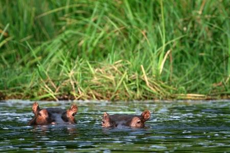Hippopotamus at Murchison Falls National Park Safari Reserve in Uganda - The Pearl of Africa photo