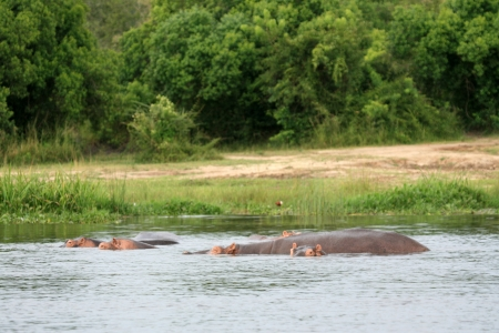 ugandan: Hippopotamus at Murchison Falls National Park Safari Reserve in Uganda - The Pearl of Africa