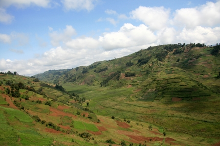 kisoro: Rice Fields in Kisoro District in Uganda - The Pearl of Africa