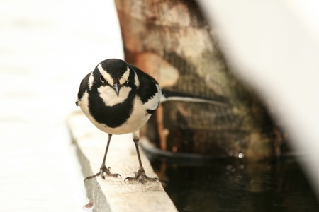 African Pied Wagtail Bird at Lake Bunyoni, Kisori District, Uganda in East Africa photo