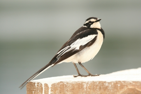 kisoro: African Pied Wagtail Bird at Lake Bunyoni, Kisori District, Uganda in East Africa Stock Photo