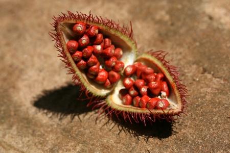 zanzibar: Annato (Bixa orellana) - Lipstick Plant over Spice Tour, Zanzibar, Tanzania