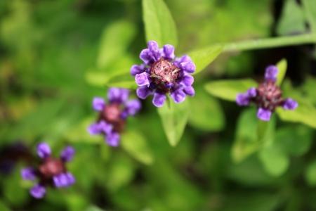 tauern: Purple Flowers growing in the Alps, Austria
