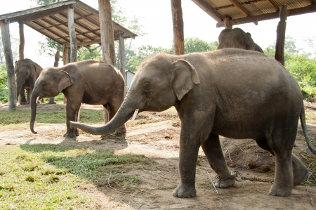 Rare Twin Elephants at Royal Chitwan National Park in Nepal photo