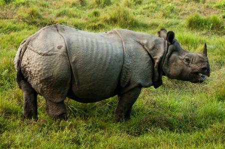 rhinoceros: Indian Rhino - Royal Chitwan National Park in Nepal Stock Photo