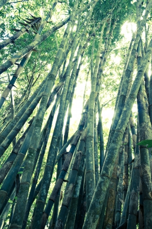 Bamboo at Khao Sok National Park, Thailand Stock Photo - 18644277