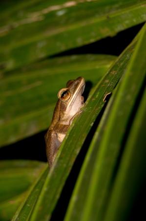 Frog at Khao Sok National Park, Thailand Stock Photo - 18643884
