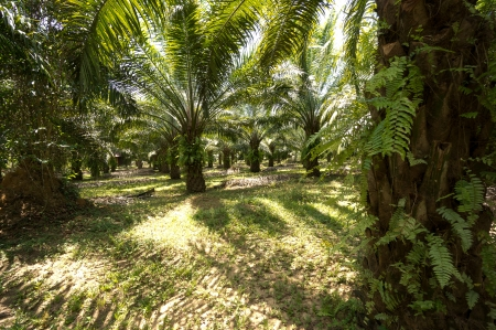 Palm Oil Plantation - Khao Sok National Park, Thailand photo