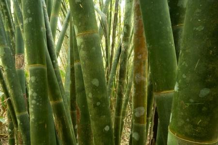 Bamboo at Khao Sok National Park, Thailand Stock Photo - 18647446