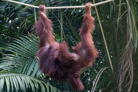 merah: Orangutan at the Conservation Island at Bukit Merah,Malaysia Stock Photo