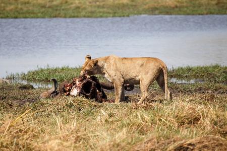 Lion Eating Buffalo at Okavango Delta - Moremi National Park in Botswana photo