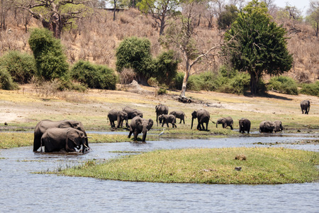 chobe national park: Wild Elephants in Chobe River, Chobe National Park, Botswana, Africa Stock Photo