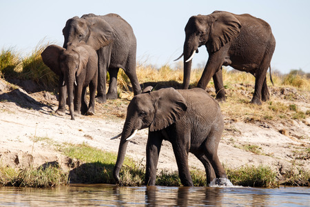 chobe: Elephant - Chobe River, Chobe National Park, Botswana, Africa