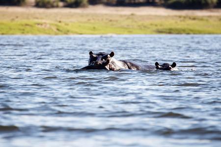 chobe: Hippopotamus - Chobe River, Chobe National Park, Botswana, Africa