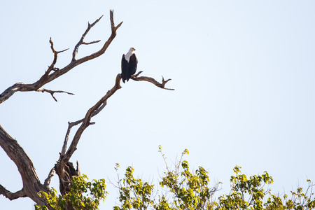 white headed: African Fish Eagle in Chobe National Park, Botswana, Africa