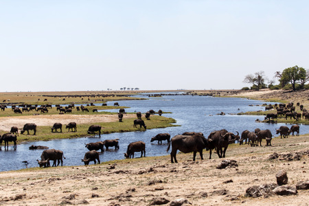 chobe national park: Herd of Buffalo in Chobe River, Chobe National Park, Botswana, Africa