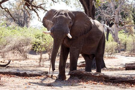 elephant angry: Angry Male Elephant in Chobe National Park, Botswana, Africa Stock Photo