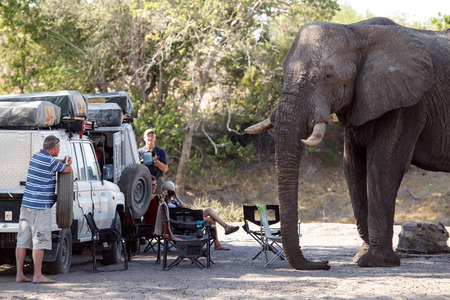 chobe national park: BOTSWANA - OCTOBER 6 2013: Hungry Elephant attacks tourists in a year of drought at Savuti Camp Site in Chobe National Park, Botswana Editorial