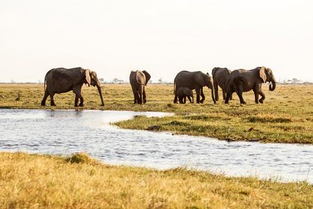 chobe: Elephant in Chobe National Park, Botswana, Africa