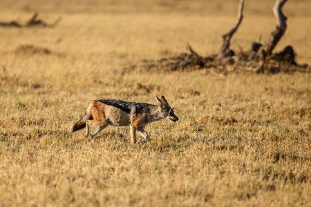 Black-Backed Jackal in Chobe National Park, Botswana, Africa photo