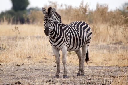 equid: Zebra at Okavango Delta - Moremi National Park in Botswana Stock Photo