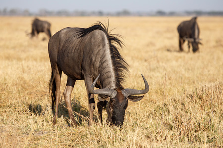 Adultos Wilderbeest en el Parque Nacional de Chobe, Botswana, �frica photo