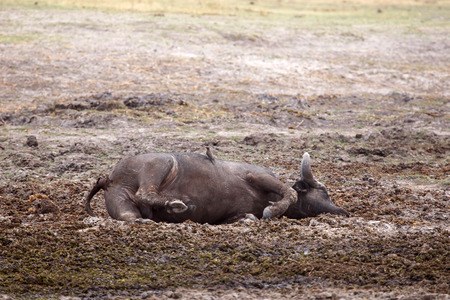 Dead Buffalo in Okavango Delta - Moremi National Park in Botswana photo