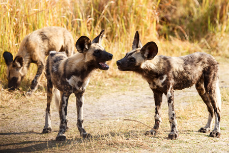 African Wild Dog at Okavango Delta - Moremi National Park in Botswana photo