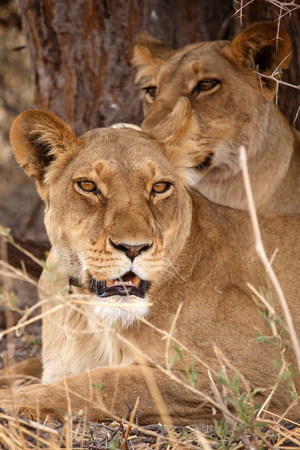 tagged: Lion With Radio Collar Tag at Okavango Delta - Moremi National Park in Botswana Stock Photo