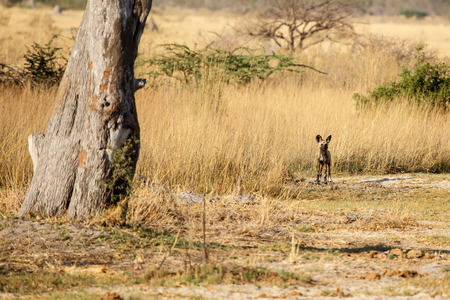 African Wild Dog at Okavango Delta - Moremi National Park in Botswana photo