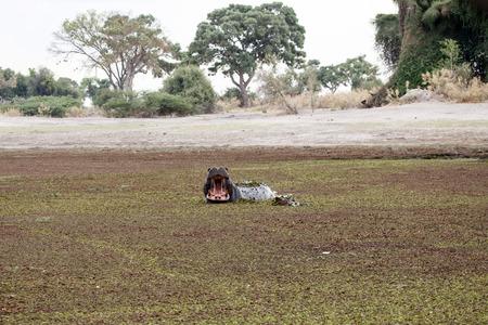 mouth watering: Hippopotamus in Okavango Delta - Moremi National Park in Botswana