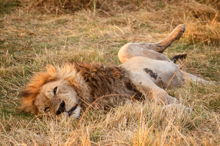 Lion at Okavango Delta - Moremi National Park in Botswana photo