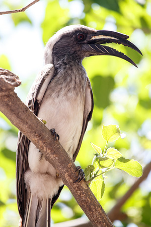 African Grey Hornbill in Okavango Delta - Moremi National Park in Botswana photo