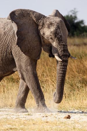 elephant angry: African Elephant in Okavango Delta - Moremi National Park in Botswana