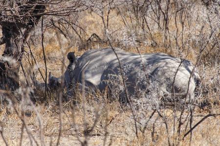 White Rhino at Etosha National Park in Nambia, Africa photo