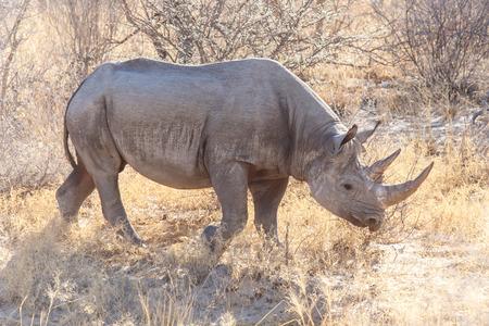 Black Rhino in Etosha National Park in Namibië, Afrika