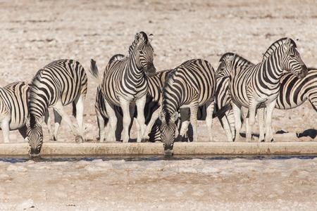 game reserve: Plains Zebra in Etosha National Park, Namibia, Africa