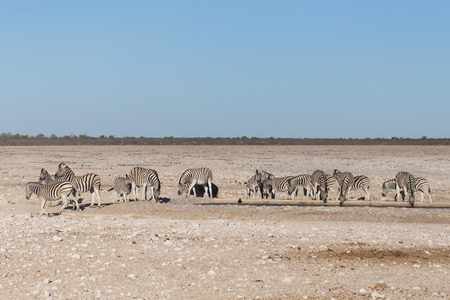 Plains Zebra in Etosha National Park, Namibia, Africa photo