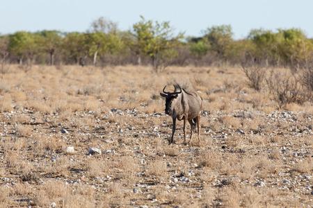 Blue Wilderbeest in Etosha National Park in Nambia, Africa photo