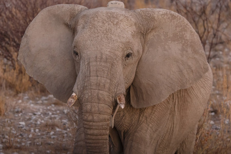 tagged: Radio Tagged Elephant in Etosha National Park in Nambia, Africa Stock Photo