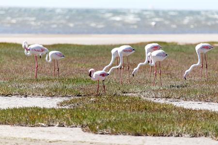 swakopmund: Flamingo Bird in Walvis Bay  Swakopmund, Nambia, Africa Stock Photo