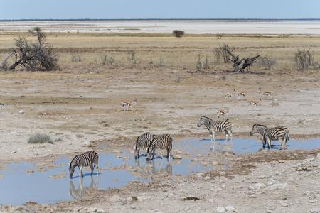 pozo de agua: Cebra en el Parque Nacional de Etosha, Namibia, África