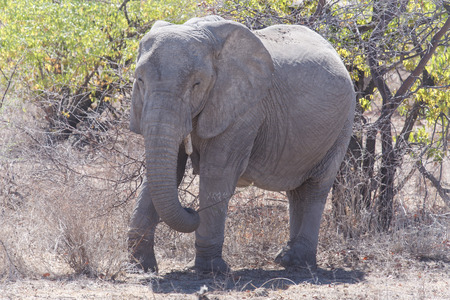 elephant angry: Dangerous Angry Elephant in Etosha National Park in Nambia, Africa Stock Photo