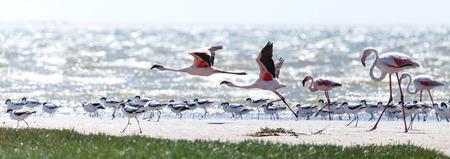 swakopmund: Flamingo Bird in Flight at Walvis Bay  Swakopmund, Nambia, Africa Stock Photo