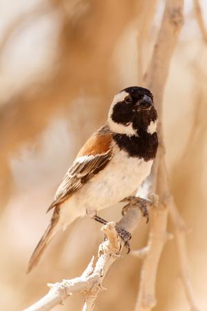 sociable: Maschio Socievole tessitore Uccello a Sossusvlei nel deserto del Namib, Namibia, Africa